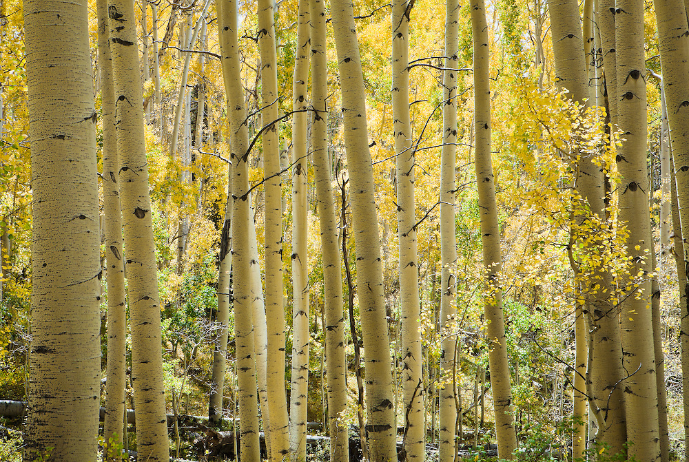 Aspen trees in Fall colors, La Sal mountains, Utah, USA.