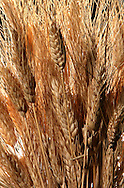A illustration of wheat.  Photograph by Dennis Brack