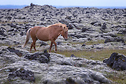 an Icelandic horse in a lava field