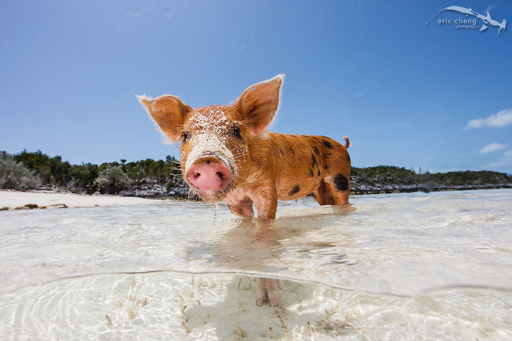 Juvenile domestic pig (Sus scrofa domestica) at Pig Beach, Big Major Island, Exumas, Bahamas