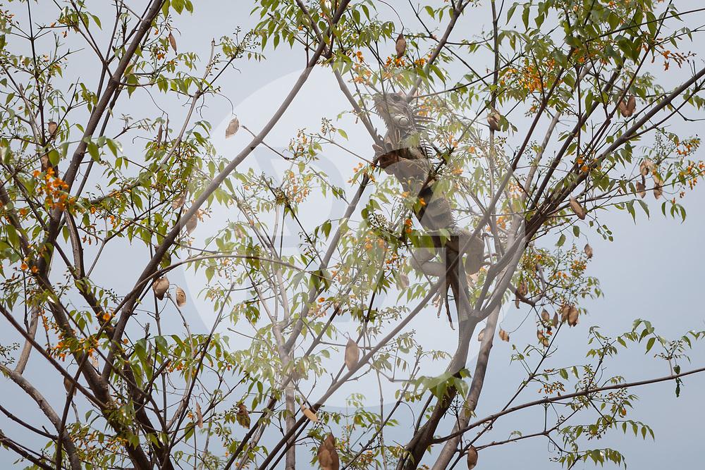 KOLUMBIEN - TAGANGA - Grüner Leguan (Iguana iguana) ist ein Vertreter der Leguane (Iguanidae) auf einem Baum - 4. April 2014 © Raphael Hünerfauth - http://huenerfauth.ch