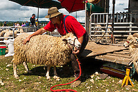 """Mr. Clip"" shearing sheep at an exhibition, Clevedon Village Agricultural and Pastoral Society Show, Clevedon (near Auckland), North Island, New Zealand"