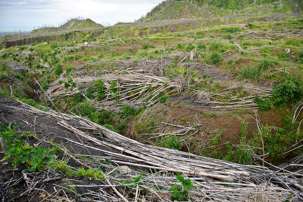Bamboo and trees destroyed in a pyroclastic flow, Gunung Merapi, Kinahrejo, Java, Indonesia.
