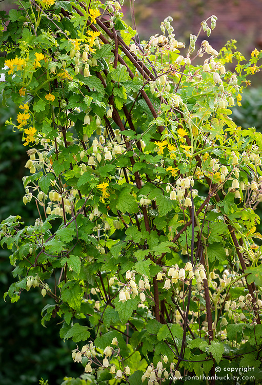 Tropaeolum peregrinum (Canary Creeper) growing over an arch with Clematis rehderiana (nodding virgin's bower) syn. Clematis buchananiana Finet & Gagnep, Clematis nutans Becket