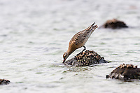 Norway, Rogaland, Hå. Bar-tailed Godwit.