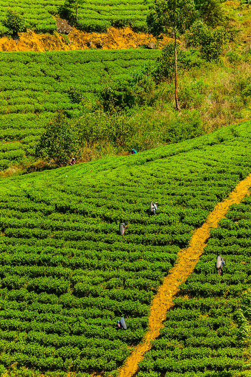 Women picking tea, Nanu Oya, near Nuwara Eliya, Central Province, Sri Lanka.