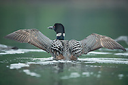 Common Loon wingstretch
