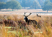 © Licensed to London News Pictures. 04/11/2014. Richmond, UK. Deer wander through autumnal grass.  People and animals enjoy the warm sunshine in Richmond Park, Surrey today 4th November. Britain has experienced unseasonably warm weather recently.  Photo credit : Stephen Simpson/LNP