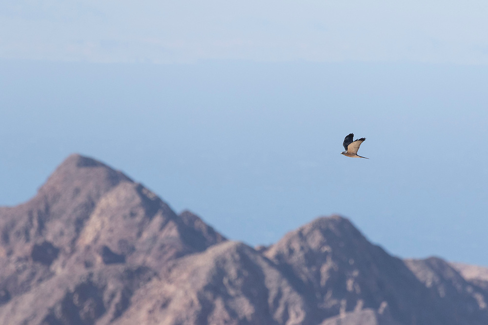 Adult male Levant Sparrowhawk Accipiter brevipes migrating over Eilat Mountains in Israel.