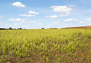 White cumulus clouds Canadian fleabane growing in countryside field, Martlesham, Suffolk, England, UK