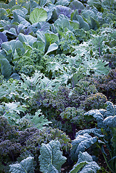 Rows of kale in the kitchen garden at Chatsworth House