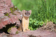 A long-tailed weasel pup (Mustela frenata) pokes its head out from a rock in Glacier National Park