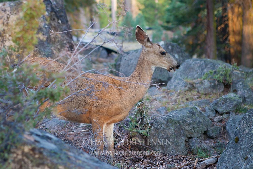 A deer grazes amongst boulders, Lassen National Park, California