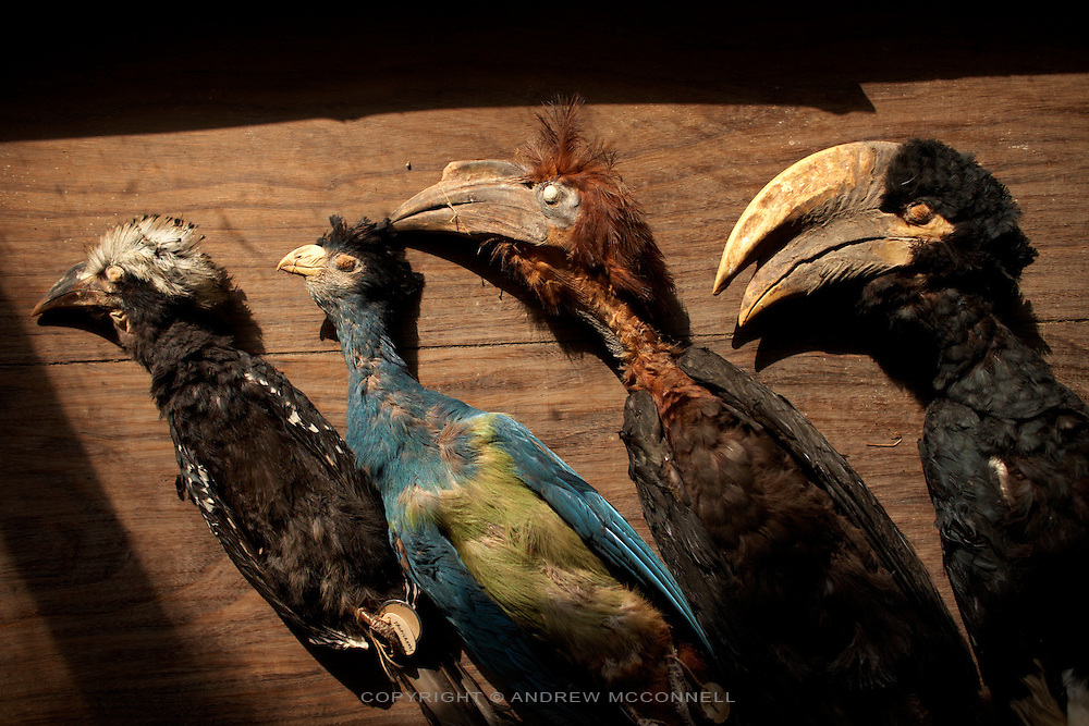 Some of the bird collection still present in the Herbarium at Yangambi, DR Congo, on Wednesday, Dec. 10, 2008. Many of the birds were stolen when Uganda soldiers, who passed through Yangambi in the late 90's, took them as trophies or to sell back home. .The Herbarium contains over 100,000 plant specimens; each one is at least 50 years old and was collected by the Belgians from all over Congo, Rwanda and Burundi. It represents a complete survey of everything in the Congo, unfortunately however much of the animal collection has been lost or stolen. .Yangambi Research Station is the former Belgian headquarters for all major scientific ecological, biological and agricultural research in Africa between the 1930's and 1960. Abandonment began in 1960 with independence and although the Congolese attempted to maintain Yangambi, sometimes in co-operation with the Belgians, the facility began to fall into disrepair through the 70's and 80's. War in the 1990's halted all potential for progress and for the past decade a skeleton crew has made a futile attempt to stave off further decline.