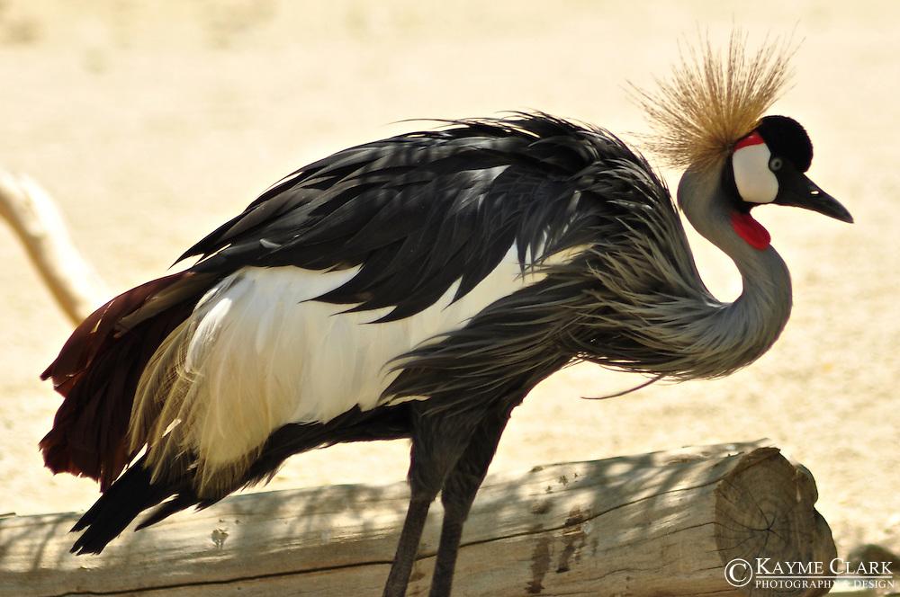 East African Crowned Crane (Grey Crowned Crane) (Balearica regulorum)