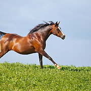 Bay Arabian Horse running in pasture with tail held high