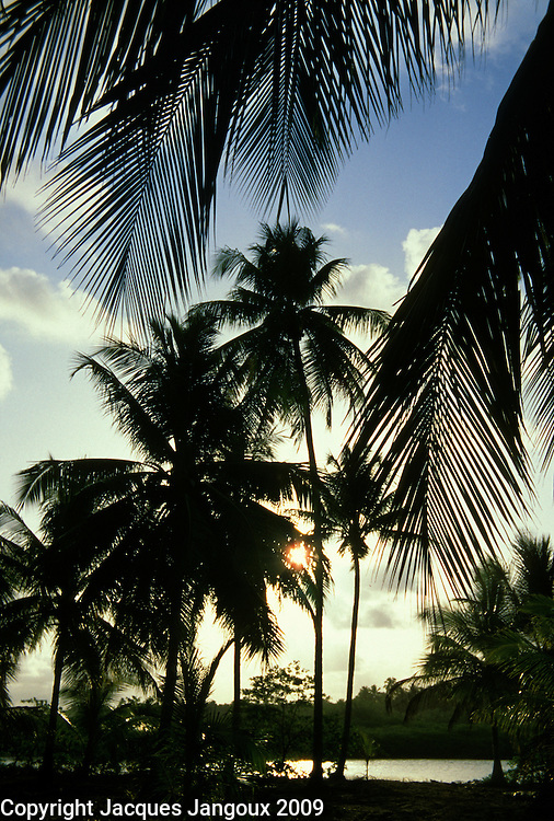 Coconut trees backlit by low afternoon sun in plantation at Tatuamunha, Alagoas, Brazil