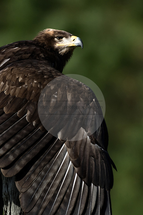 Portrait of a Steppe Eagle during a demonstration at the Center for Birds of Prey November 15, 2015 in Awendaw, SC.
