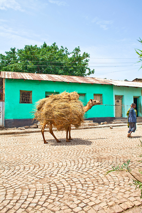 Farmer leading his camel carrying harvested grain to market, Axum.