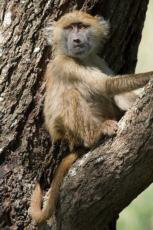 (Papio anubis) A Juvenile Olive Baboon Rests in the Fork of a Tree, Tarangire National Park, Tanzania