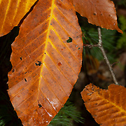 Beech leaves in autumn color.