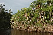 Flooded Igapo forest.<br /> Cocaya River. Eastern Amazon Rain Forest. Border of PERU &ECUADOR. South America