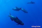 short-finned pilot whales, Globicephala macrorhynchus<br /> Kona, Hawaii, USA ( Central Pacific Ocean )