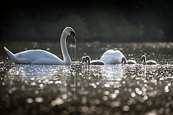 © Licensed to London News Pictures. 06/06/2016. Leeds UK. Two swans & their Cygnets enjoy the warm weather this morning at Golden Acre park in Leeds on another beautiful day in Yorkshire. Photo credit: Andrew McCaren/LNP