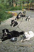 Alaskan sled dogs hooked up to sled with wheels