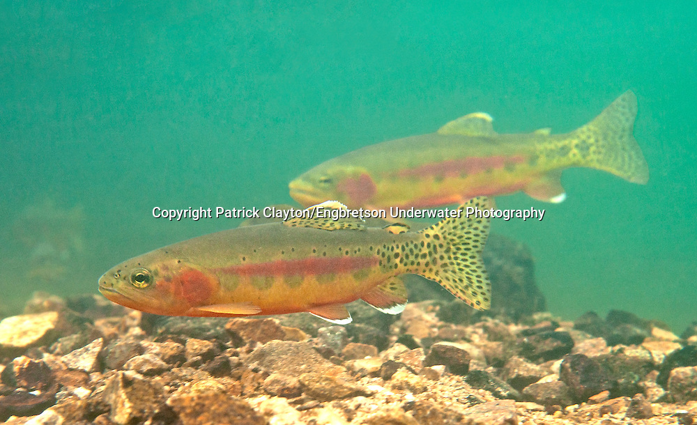 Golden Trout<br /> <br /> Patrick Clayton/Engbretson Underwater Photography