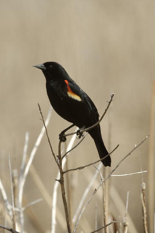 Red Winge Black Bird