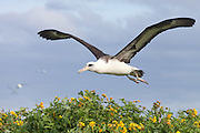 Laysan Albatross flying over flowers Midway Atoll
