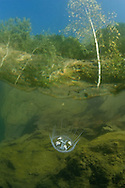 Freshwater Jellyfish<br /> <br /> Viktor Vrbovsky/Engbretson Underwater Photography