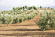 Olive tree plantation in Andalusia, Spain