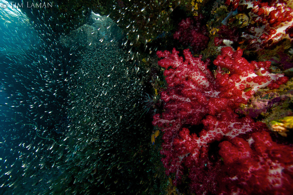 Reef wall in Raja Ampat Island, Indonesia, with school of silversides and soft corals.
