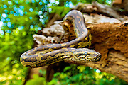 A Southern African Python in Hoedspruit, Limpopo, South Africa.<br /> <br /> The South African Python is the largest snake in southern Africa. This snake has an average length of 4 meters but has been recorded as growing up to 6 meters.