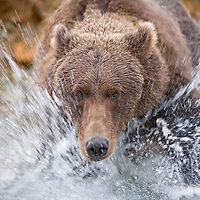 USA, Alaska, Katmai National Park, Kinak Bay, Brown Bear (Ursus arctos) rushes into river hunting for spawning salmon on autumn evening