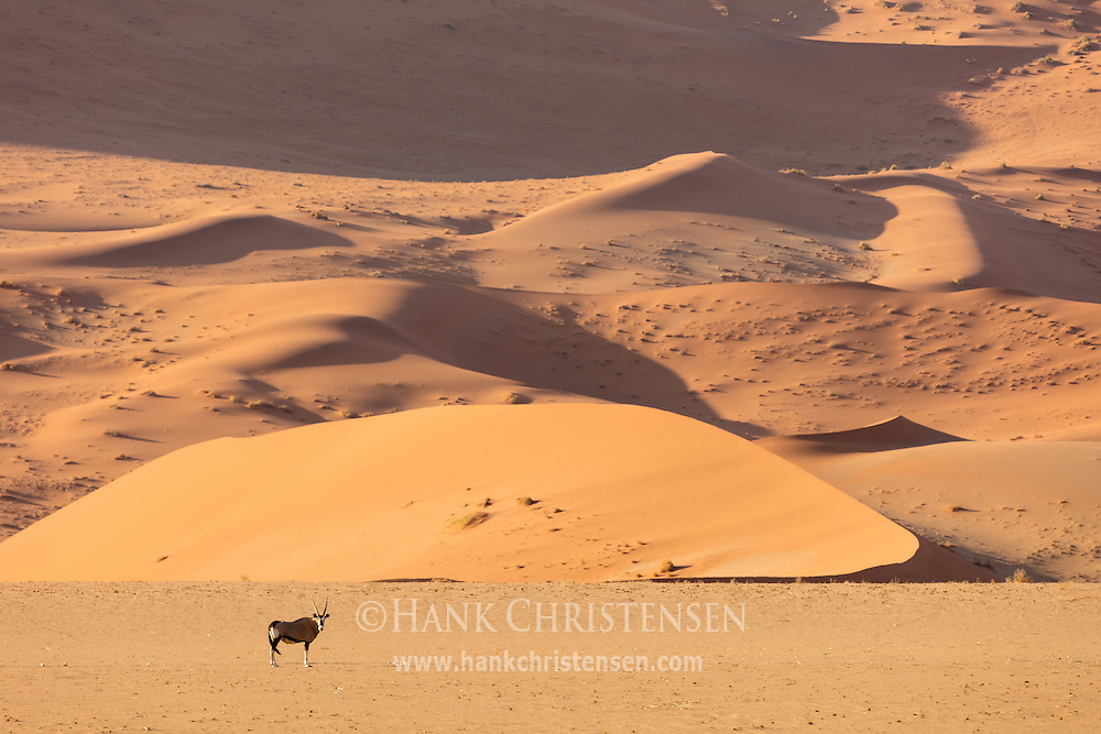 A gemsbok walks in front of a massive sand dune, Namib-Naukluft National Park, Namibia.