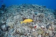 Yellow-spotted trevally-Carangue tachetée (Carangoides orthogrammus) of Red Sea, Sudan.