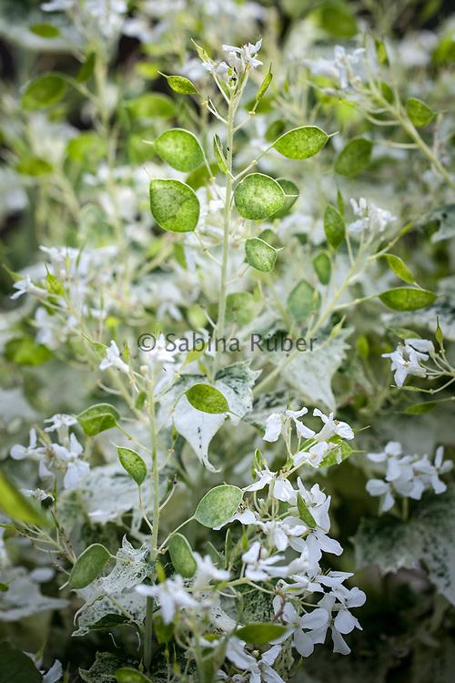 Lunaria annua var. albiflora 'Alba Variegata'  - honesty