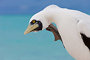 Masked Booby scratching