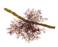 Polysiphonia lanosa