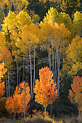 Aspen trees in autumn color along Utah Scenic Byway 12 on Boulder Mountain, Dixie National Forest, Grand Staircase Escalante National Monument. Near Boulder, Utah