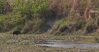 Wild Boar, Sus scrofa, Bardiya National Park, Nepal
