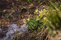 THEMENBILD - die echten Schlüsselblumen (Primula veris) sind eine der ersten Wildblumen die im Frühling blühen. Extrakte und Tees werden in der Heilkundemedizin gerne eingesetzt, aufgenommen am 07. März 2019 in Aurach, Oesterreich // the real primula (Primula veris) are one of the first wild flowers to bloom in spring. Extracts and teas are often used in medical medicine, Austria on 2019/03/07. EXPA Pictures © 2019, PhotoCredit: EXPA/Stefanie Oberhauser
