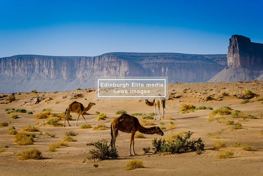 Wild camels wandering in the Moroccan desert.<br /> <br /> (c) Andrew Wilson | Edinburgh Elite media