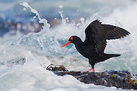 Animals in their Environment: African Black Oystercatcher: : Haematopus moquini: African Black Oystercatchers feed in the intertidal zone and often have to time landing and take offs to the millisecond with waves breaking over them: The bird was free and wild and no artificial methods were used to take this image