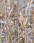 "This American Bittern is hoping ""you can't see me"" by standing motionless with bill straight up to look like a reed.  Living in the marsh, when alarmed they camouflage into their surrounds."
