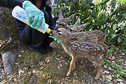 Black-tailed Deer<br /> Odocoileus hemionus<br /> Diane Nicholas, President of Kindred Spirits Fawn Rescue, bottle-feeding one-week-old orphaned triplet fawns<br /> Kindred Spirits Fawn Rescue, Loomis, California