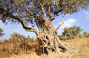 The trunk of an old olive tree